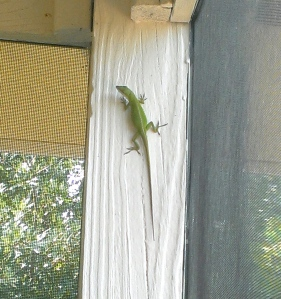 Bob, our porch lizard