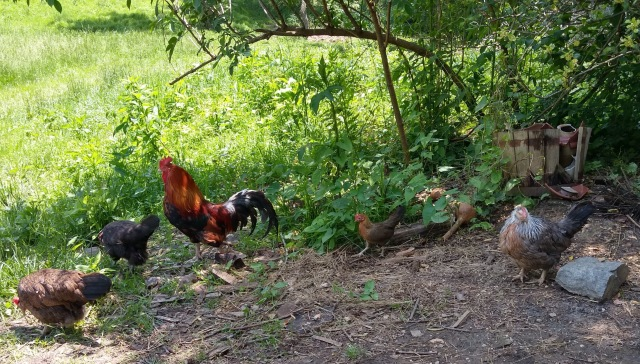 5 chickens of varying breeds