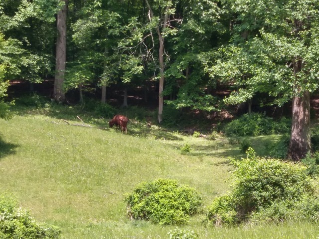 A  brown cow in a field near a wooded area at the edge of the grazing area