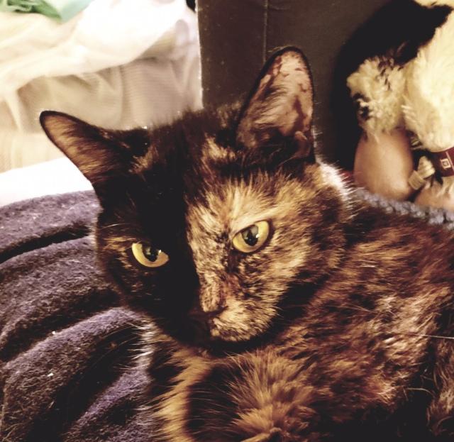 Headshot of Lily, a black and orange tortoiseshell cat
