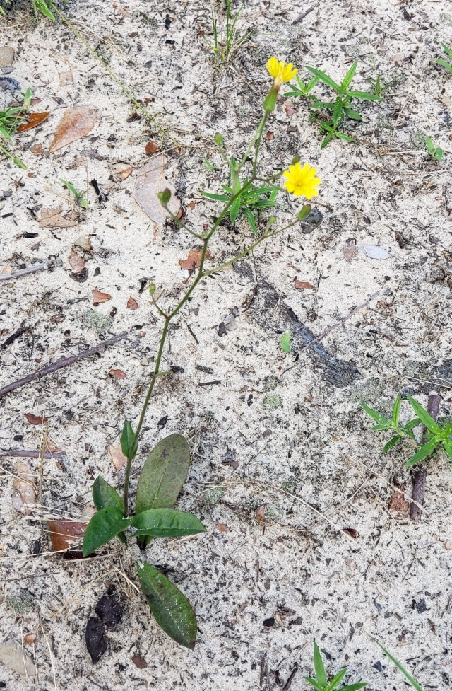 A small yellow flower in sandy soil