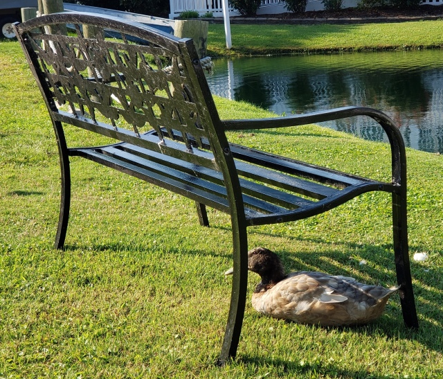 Duck sitting under a wrought iron bench