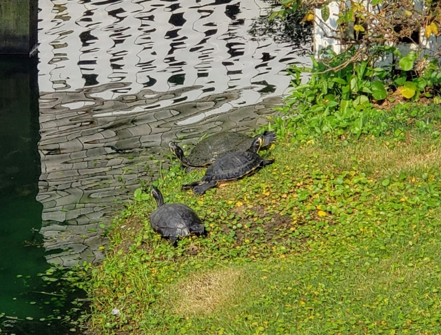 Three turtles sunbathing on a pond bank