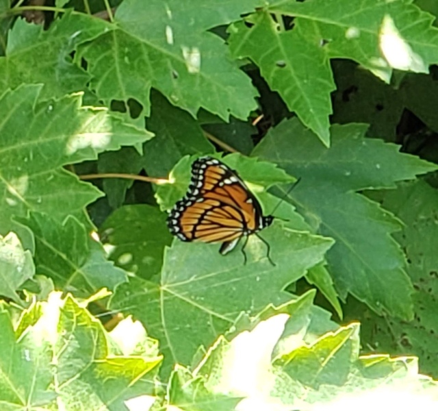 An orange and black butterfly on green leaves