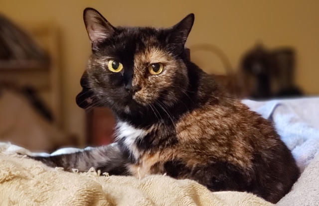 A shot of Lily, a black and orange tortoiseshell cat, looking lovely on the bed.