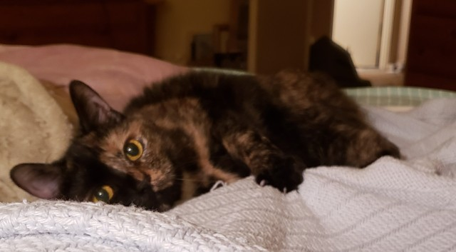 Lily, a black and orange tortoiseshell cat, laying on a blanket, looking adorable