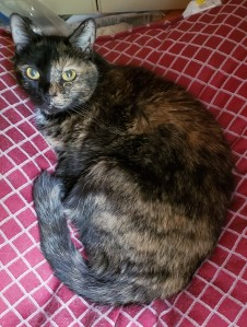 Lily, a black & orange tortoiseshell cat, curled up on a red & white pillow