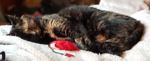 Lily, a black & orange tortoiseshell cat, sleeping on a fleece blanket.