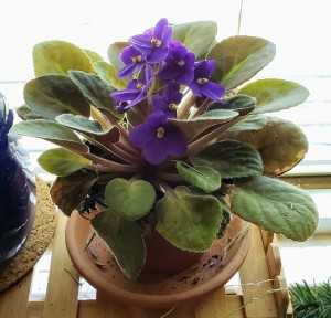 Photo of an african violet with purple flowers