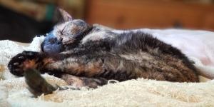 Lily, a black and orange tortoiseshell cat, sleeping