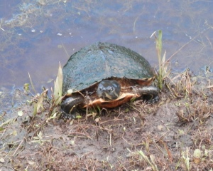 A turtle coming out of a creek