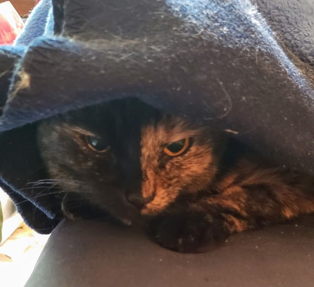 Lily, a black and orange tortoiseshell cat, peeking out from under a blanket.