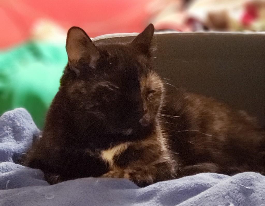 Headshot of Lily, a black and orange tortoiseshell cat, snoozing on the sofa