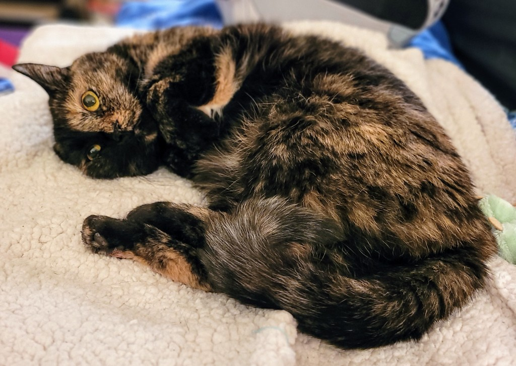 Lily, a black and orange tortoiseshell cat, laying on a fleece blanket