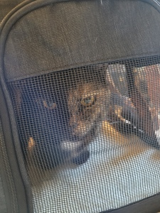 Lily, a black and orange tortoiseshell cat, in her carrier
