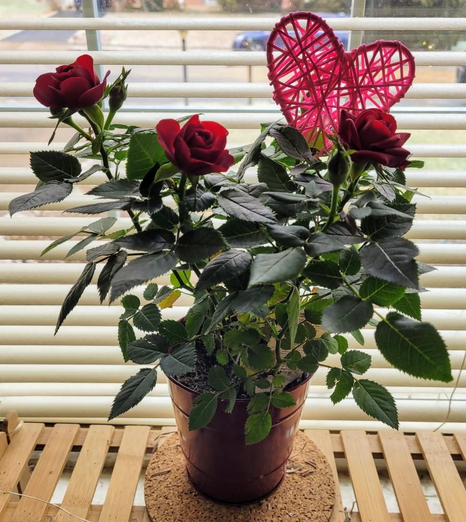 A small rosebush in a red metal pot