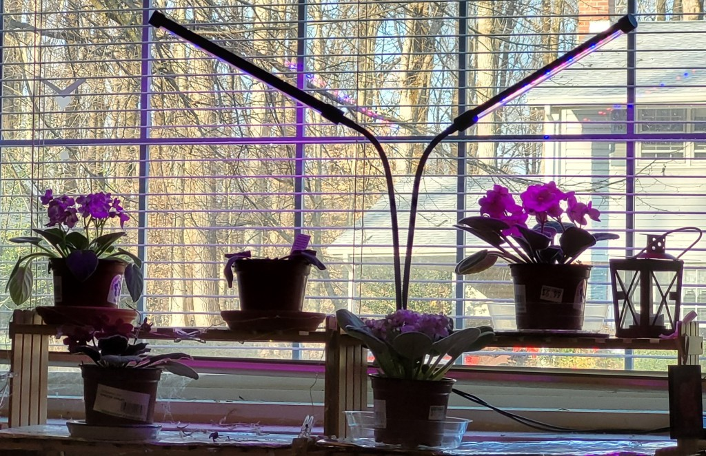 Plant shelf with African Violets and two stick style grow lights over them