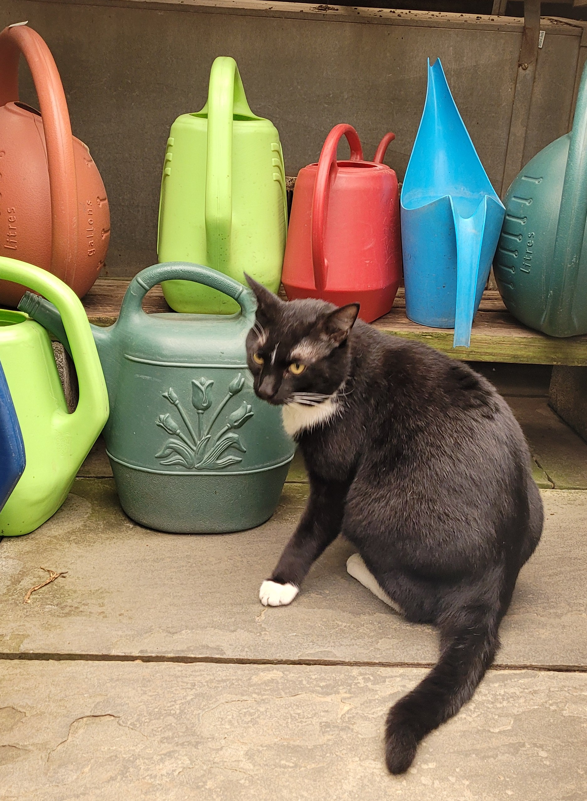 A black and white cat sitting in front of several colorful watering cans