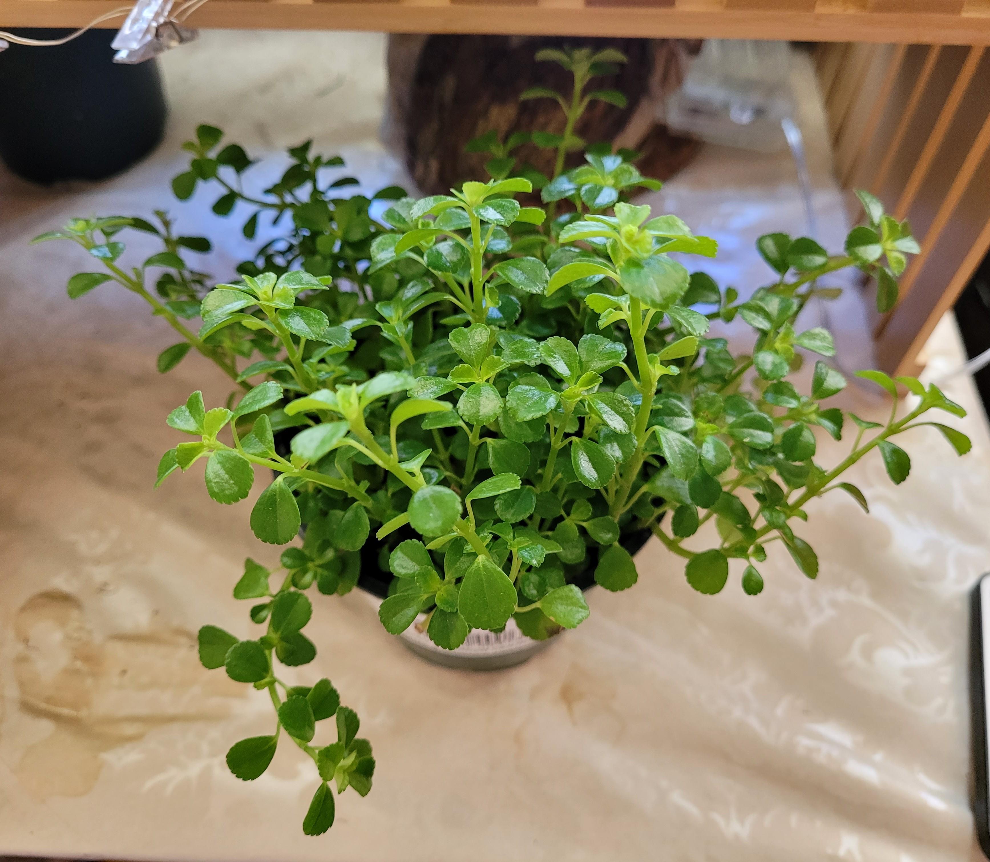 Creeping peperomia plant