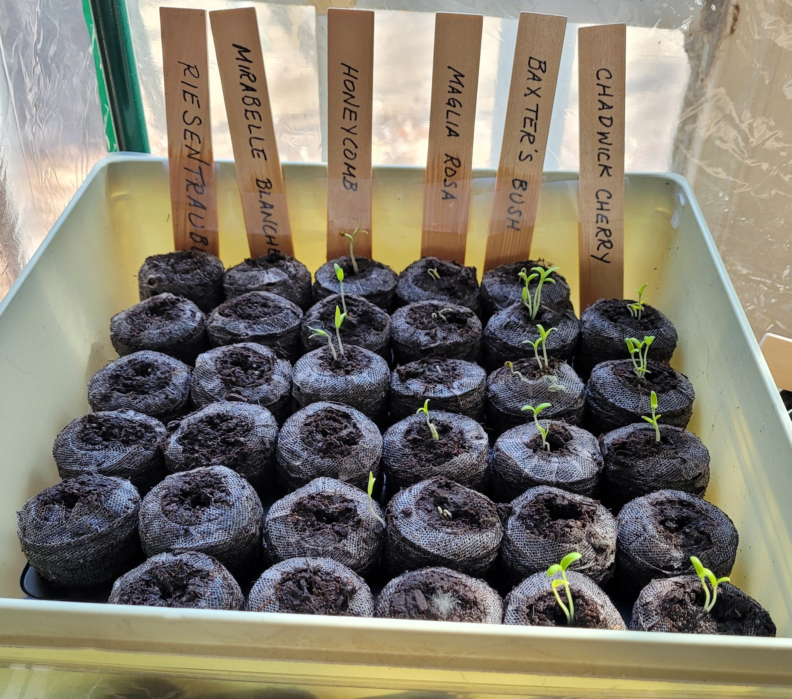 Flat of seedlings that have sprouted