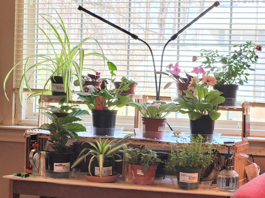 Shelves of houseplants - african violets, spider plants, gerbera daisies, creeping pepperomia, nerve plant, and calathea