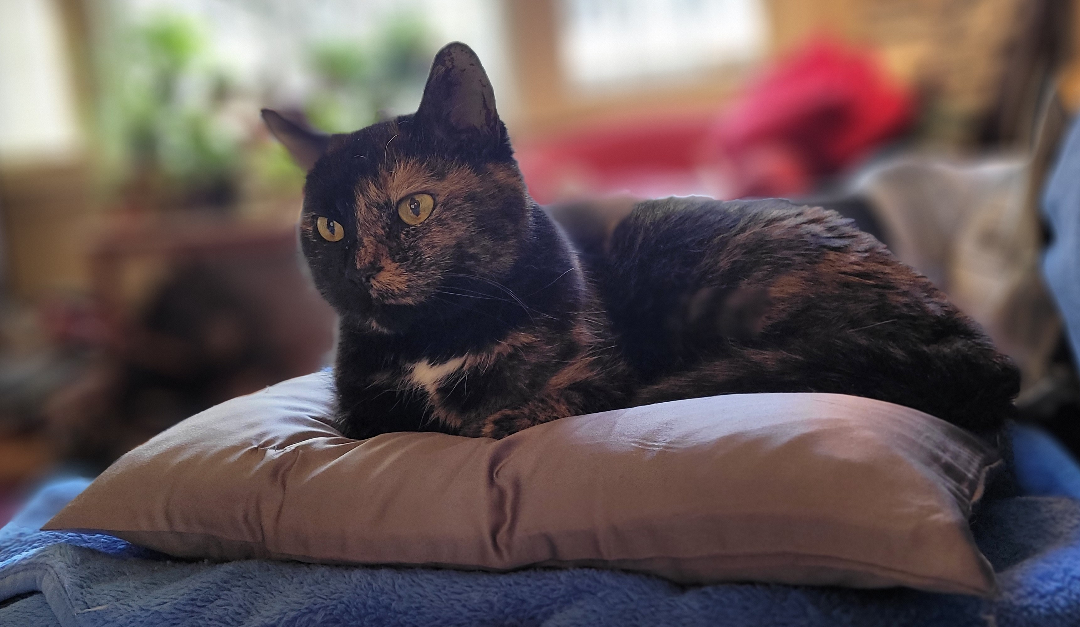 Lily, a black and orange tortoiseshell cat,  sitting on a grey throw pillow