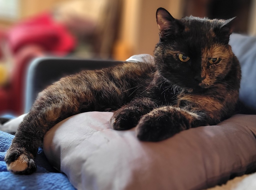 Lily, a black and orange tortoiseshell cat, sitting on a satin pillow