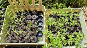 Two trays of tomato seedlings