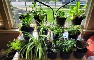 A shelf full of green plants in my front window