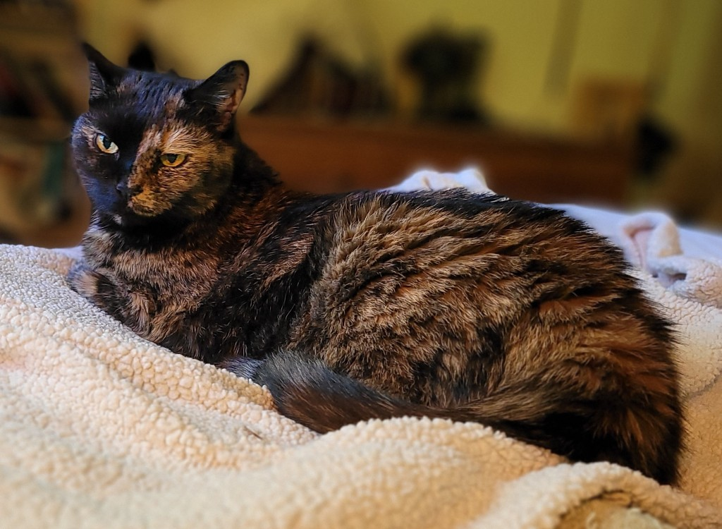 Lily, a black and orange tortoiseshell cat, looking a bit disgruntled