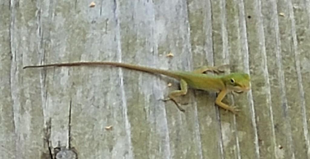 Photo of a small green lizard