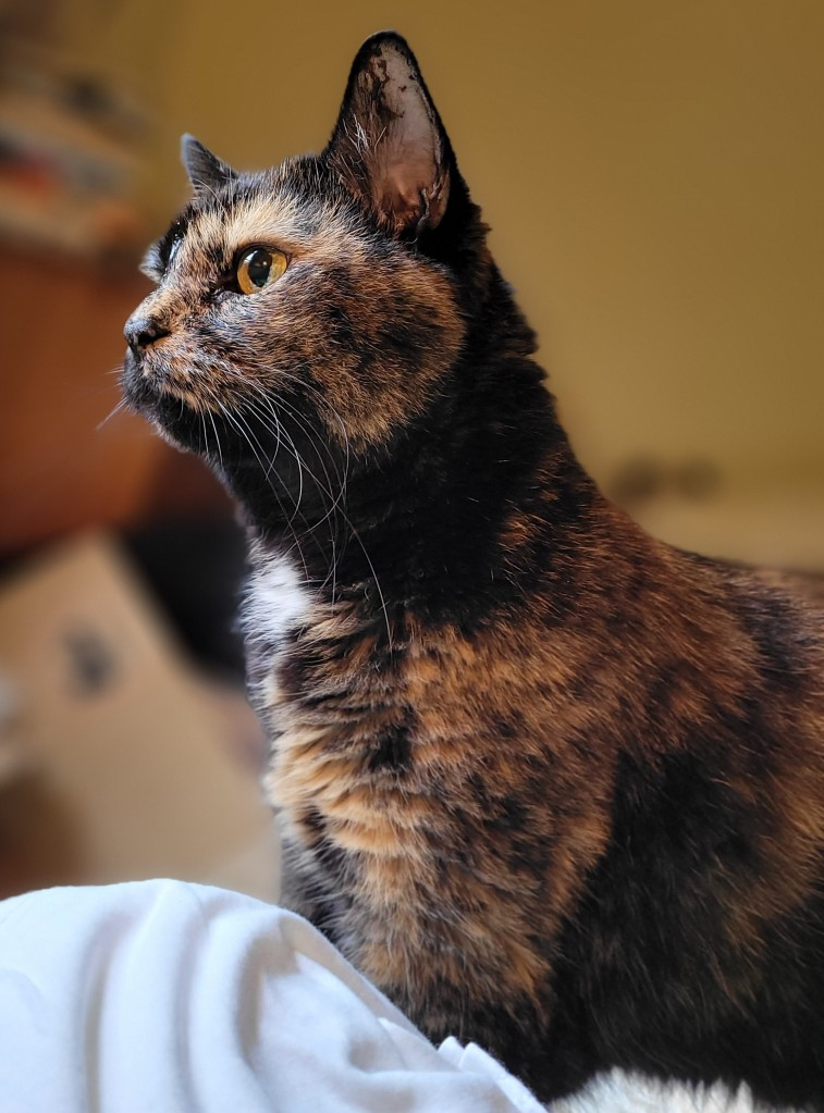 Lily, a black and orange tortoiseshell cat, looking intently out the window