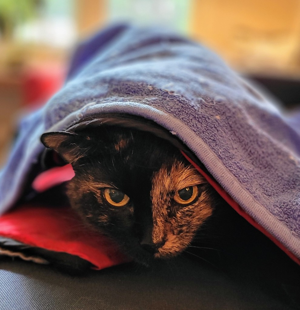 Headshot of Lily, a black and orange tortoiseshell cat, poking her head out from under a blanket